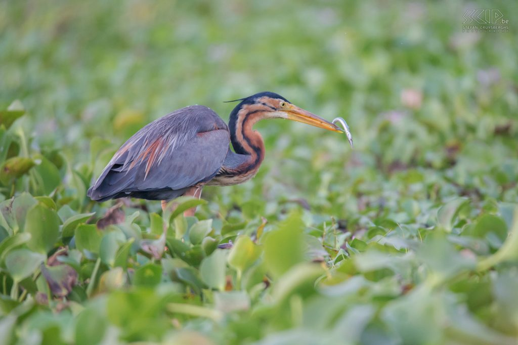 India - Kumarakom - Purple heron